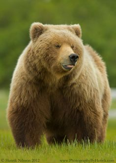 Grizzly Bears~ Now that's a great big bear!