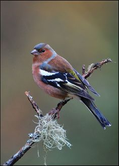 Chaffinch: Photo by Photographer Ron Coulter - photo.net