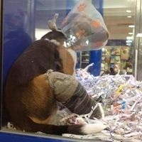 Westfield: No longer permit pet store retailers to sell live animals in your shopping centres.