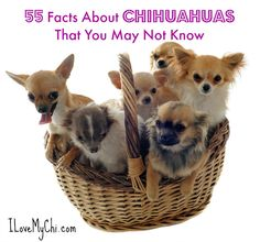 Chihuahuas are fascinating little dogs, aren't they? I know I am totally in love with the breed. So I decided it would be fun to gather together 101 facts about them. Many are from our weekly newsletter but some aren't. I'm sure many of you know some of them but there may be some surprises for you.   You should never attach a leash to your Chihuahua's collar because their little necks are fragile. Instead get a harness to attach the leash on to. Chihuahua noses can be different colors…