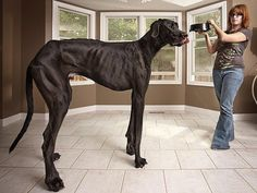This Is The World's TallestDog : According to the upcoming Guinness Book of World Records for 2013, Zeus the Great Dane is the tallest dog in the world right now. Standing on his hind legs, Zeus measures 7'4.