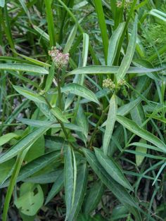 aquatic milkweed plant profile, plant about 2' apart, in moist to wet soil