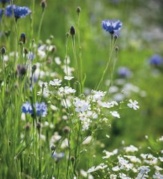 Gypsophila elegans 'Covent Garden' is a simple, single gypsophila which could not be more different to the twee, top-heavy double form. This makes a wonderful filler flower in the garden and vase.