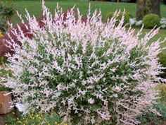Variegated Willow - Salix integra Hakuro Nishiki - creamy white & green leaves, pink shoots, 6-8 ft, sun or part shade