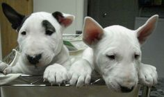 Bull Terrier - had one and will again!!