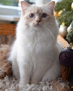 Snickers Poppy and Vaniljs son is a father look-a-like and so cute #minivaniljerna2016 #birma #birman #breeder #catsofinstagram #chokladochvanilj #pinkalicious #welovecats #we_love_cats #bestcats_oftheworld #excellent_cats #birmavanner #birman_feature @gulliverina