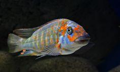 """Petrochromis """"Orange Kasumbe"""""""
