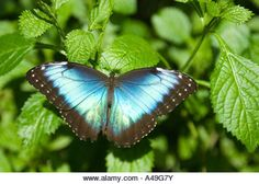 USA Florida Keys The Key West Butterfly Nature Conservancy Visitor Center Blue Morpho Butterfly - Stock Image