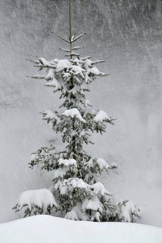 This was a Charlie Brown Tree but when laden with snow it is beautiful!