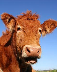 Cute Cow-Go Vegan! ....please!? <3