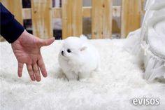 REGALO LULU DE POMERANIA (MICRO TOY)  cachorritos de lulu de pomerania micro toy con 2 meses, de ..  http://castellar-del-valles.evisos.es/regalo-lulu-de-pomerania-micro-toy-id-662815
