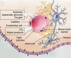 The Blood-Brain Barrier (BBB)