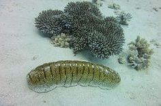 Sea cucumber - Holothuria fuscopunctata - The anterior end of the animal, containing the mouth, corresponds to the oral pole of other echinoderms (which, in most cases, is the underside), while the posterior end, containing the anus, corresponds to the aboral pole. Thus, compared with other echinoderms, sea cucumbers can be said to be lying on their side.