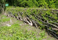 Hedgelaying you can visit in Shropshire - Farley Road, Much Wenlock, Shropshire