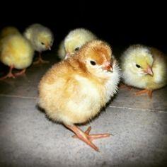 Hoy como cada Jueves, tenemos nuestros nacimientos. Pollitos recién nacidos de un día. Bird, Animals, Newborn Babies, Births, Thursday, Products, Animales, Animaux, Birds