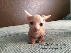 Bambino Sphynx Kitten, All babies deserve to be loved! Crazy Cat Lady, Crazy Cats, Sphynx Cat, Hairless Cats, Bambino Kitten, Kittens Cutest, Cats And Kittens, Baby Animals, Cute Animals