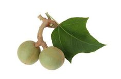 Kukui Nut Carrier Oil - Uses and Benefits for your skin.