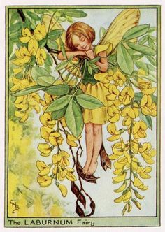 Laburnum Flower Fairy Vintage Print c1950 Cicely by TheOldMapShop