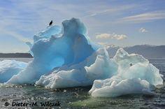 """Weißkopfseeadler auf Eisberg / Alaska / Ein Bild aus dem Kalender """"ALASKA - Lockruf der Wildnis"""""""