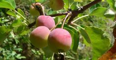 Pyrus prunifolia (Malus p. Apple Types, Apple Varieties, Pyrus, Small Trees, Outdoor Gardens, Pear, Seeds, Leaves, Fruit