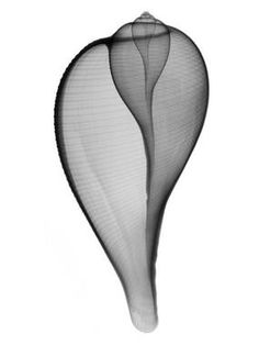 """Graceful Fig I"" X-Ray Photography by Don Dudenbostel http://martingallerycharleston.com Zippertravel.com Digital Edition"