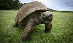 Meet Jonathan, the 182-Year-Old Giant Tortoise and Oldest Land Creature Currently Living  #Animal #Tortoise #GiantTortoise