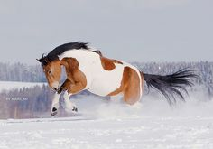 pinto horse running in the snow