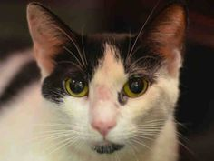 SAFE! TO BE DESTROYED 10/19/14 ** Mime allows the stroke, head-butts the assessor's hand and attempts to explore outside of her cage. Mime interacts with the observer, appreciates attention, is easy to handle and tolerates all petting. ** Manhattan Center  My name is MIME. My Animal ID # is A1016746. I am a female white and black domestic sh. The shelter thinks I am about 3 YEARS old.  I came in as a STRAY on 10/07/2014 from NY 10026