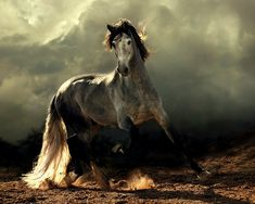 Spanish Horses (Andalusians), Lusitanos, Shagyas – Fantasia. Andalusian's  most common coat color is gray, although they can be found in many other colors. They are known for their intelligence, sensitivity and docility. Image Credit: Wojtek Kwiatkowski