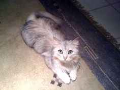 My cat, Lucy (Siberian Forest Cat)