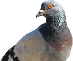 I have raised pigeons for over 55 years. So what I'm about to lay out for you comes from years of experience breeding and racing pigeons. Many of you will not have heard this information from…