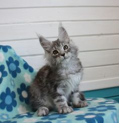 New!!!elite Maine Coon Kitten From Europe With Excellent Pedigree. In Excellent Breed Type. Male. Luxury in - Hoobly Classifieds