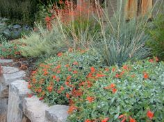 The crimson orange flowers of 'Select Mattole' Zauschneria (Epilobium) septentrionalis, and the vastly underused Willamette Valley native grass, Festuca californica