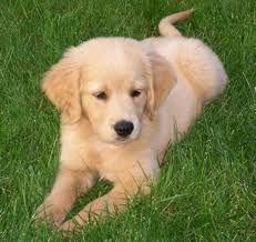 We make it easy for you to find the perfect puppy for your family. We are breeders but we continuously work with other breeders to meet our high levels of care for your future pet and also make sure we always have a puppy available for a family in need and looking.https://www.millersgoldenretrievers.com/