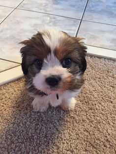 And this little guy who wants to tickle you with his fluffy puppy mustache. | 17 Puppy Faces You Actually Cannot Resist Kissing