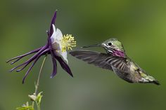 Calliope male hummingbird                                                                                                                                                                                 Mais                                                                                                                                                                                 Mais