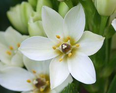 I never knew there was a Star of Bethlehem flower!