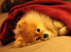 This snuggle bunny is just too cute . . . Check out the 52 Weeks of Colby for more cute pictures of this adorable pup. By Doggies Are From Heaven, via Flickr