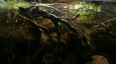 Nature Aquarium, Planted Aquarium, Aquarium Design, Aquarium Ideas, Discus Tank, Biotope Aquarium, Reptile Habitat, Tanked Aquariums, Black Water