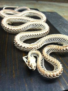 a 3 foot cornsnake skeleton coiled up to only inches long.