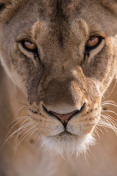 Close up photo of female lion face Lioness Images, Lioness Quotes, Beautiful Creatures, Animals Beautiful, Animals Images, Cute Animals, Lion Photography, Lions Photos, Female Lion