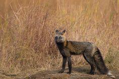 cross fox by Christian Sanchez on 500px
