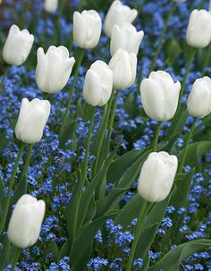 "Tulip 'White Dream'. set withn a ""forget-me-not patch Photograph: Dave Zubraski/Alamy."