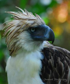 Philippine Eagle ~ Endangered Animals  http://www.ejaculation-gurureview.com/wp/