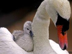 baby swan #cutegasm
