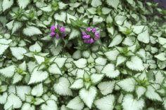 Taubnessel schattenpflanzen gartenpflanzen pflanzenarten