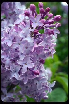 Lovely lilacs from Shutterbug Bitten.