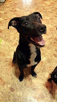 Allentown, PA - Whippet/Terrier (Unknown Type, Medium) Mix. Meet Asher JS, a dog for adoption. https://www.adoptapet.com/pet/19421422-allentown-pennsylvania-whippet-mix