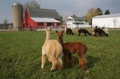 Willow Bend Alpaca Farm, IL ~  I luv Alpacas! So, easy to care for compared to cattle but both used for different purposes.