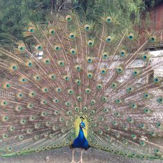 Zion... i wanna see your peacock